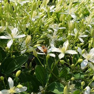 Clematis Sweet Autumn   - Clematis paniculata -  lg pot